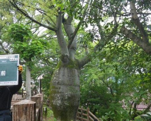 ①樹勢回復施工前