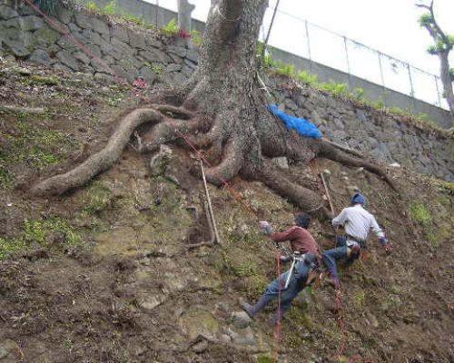 ⑨直径1.5m以上のクスノキの大木。斜面でもこれだけの根張り。(生命力を感じます。)