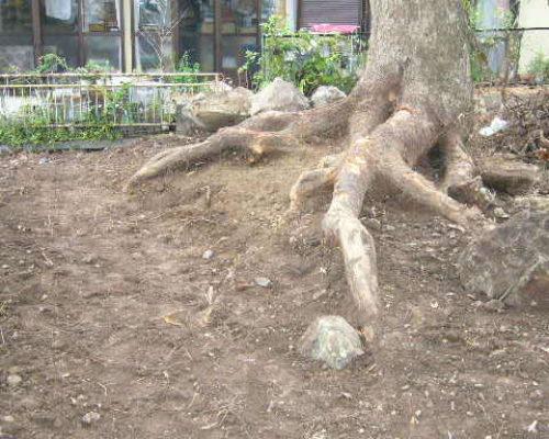 ⑩樹木の生命力を感じてほしいと根張りを掘り出しました。クスノキ直径1.2m。
